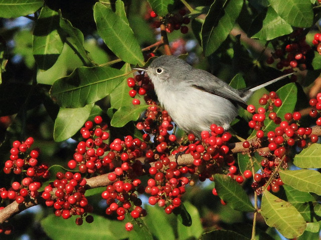 Blue-gray Gnatcatcher on Brazilian Pepper 20141216