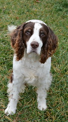 dog breed, animal, dog, welsh springer spaniel, small mã¼nsterlã¤nder, field spaniel, drentse patrijshond, brittany, russian spaniel, english cocker spaniel, picardy spaniel, blue picardy spaniel, spaniel, german spaniel, french spaniel, english springer spaniel, cavalier king charles spaniel, american water spaniel, american cocker spaniel, carnivoran,