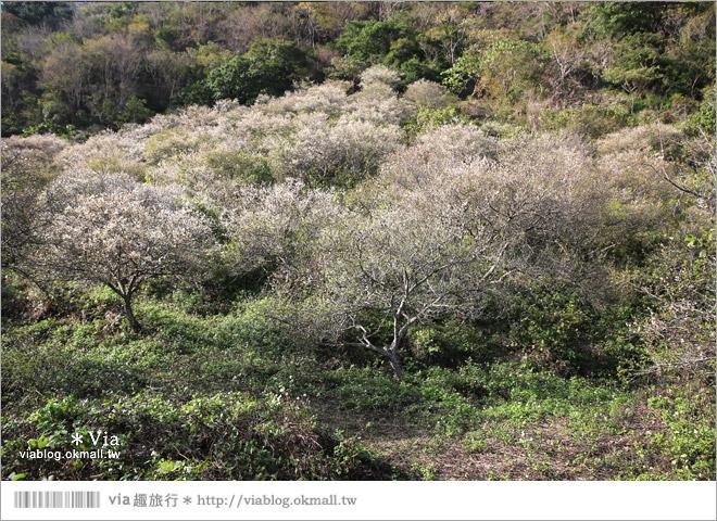 【南投梅花秘境】仁愛鄉「西伯梅園」~和互助國小梅園來個賞梅一日遊9