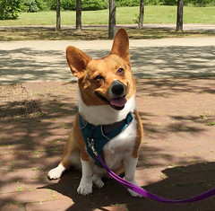 Corgi at Lake Artemesia