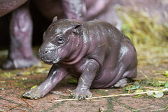 The pigmy hippo baby in a funny position