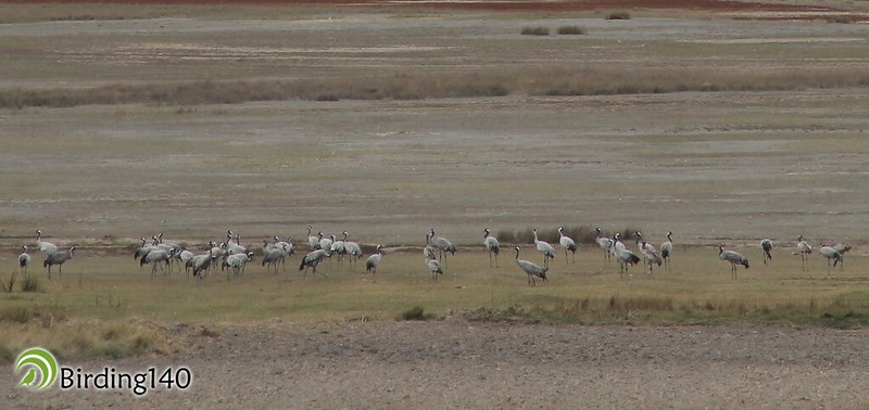 Common cranes (Grus grus) in Gallocanta