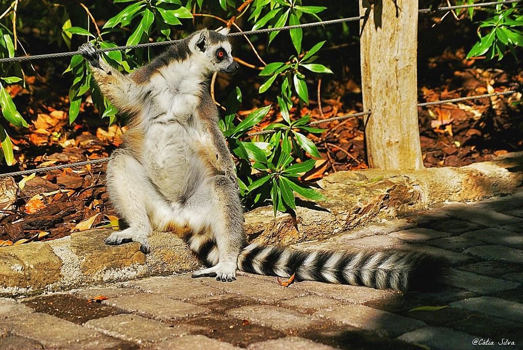 Bioparc Valencia_Madagascar (1.4) Lemur de cola anillada