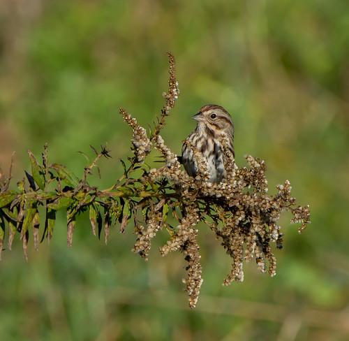 sparrow bird nature maryland melospizamelodia songsparrow bonniecoatesott