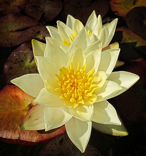 4536 small water lily
