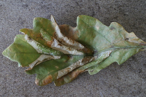 Phyllonorycter lautella mines on Oak sapling