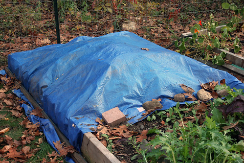 tarp to kill late blight IMG_0522