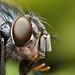 Bluebottle fly close up #3