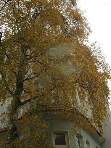 Birke im Spätherbst