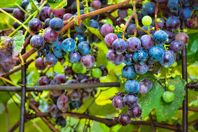 Grape, Grapes, Grape Vine, Cluster, Purple, Blue