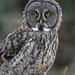 Great Gray Owl (Strix nebulosa) by mesquakie8