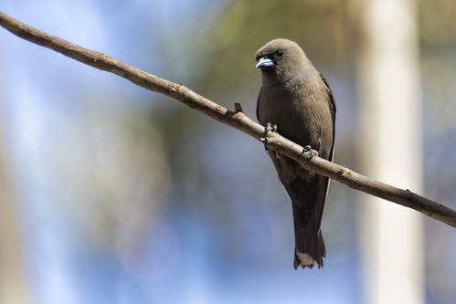 Dusky Woodswallow 2014-11-21 (_MG_5686)