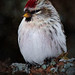 Painted Redpoll by Darryl Robertson