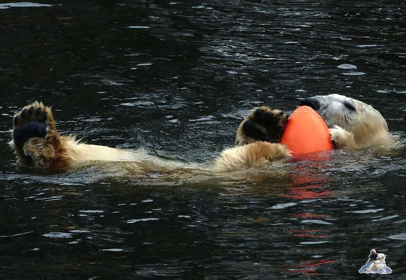 Tierpark Berlin Eisbären 20.12.2014 73