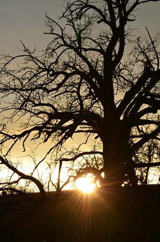 sunset sun tree slr photography nikon foto fotografie sunsets photograph fotos pear sample dslr pyrus birnbaum spiegelreflexcamera eagle1effi nikonbest d5100 nikond5100 bestofnikond5100 d5100best
