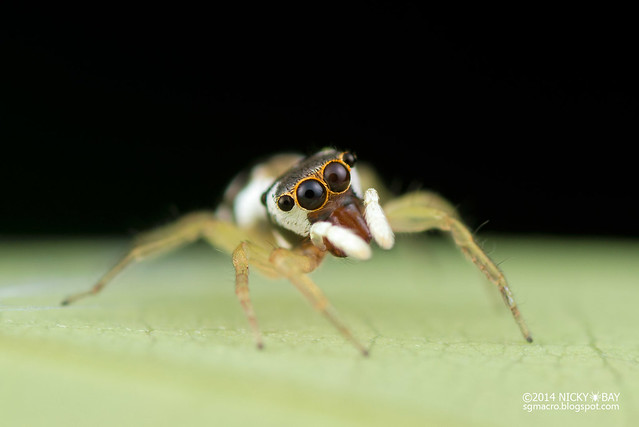 Jumping spider (Salticidae) - DSC_4221