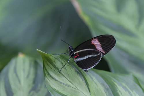 butterfly nikon houstontexas museumofnaturalscience longwingbutterfly d800e