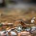 Southern Torrent Salamander - Rhyacotriton variegatus by Marisa.Ishimatsu