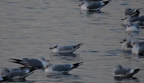 Mediterranean Gull Ichthyaetus melanocephalus Tophill Low NR, East Yorkshire December 2014