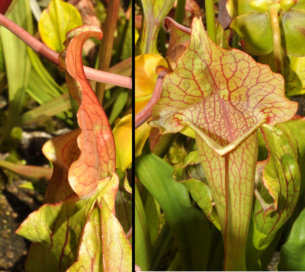Sarracenia purpurea hybrid, stocking-toe lid