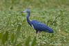 Garça-azul (Egretta caerulea) - Juvenil by Cláudio Timm