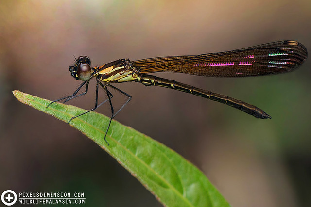 A beautiful perching Damselfly- Libellago sp. (?)
