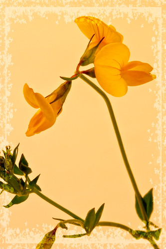 Yellow Trefoil Wild Flower Macro
