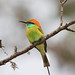 Little Green Bee-eater - Sri Lanka by Donna Hampshire