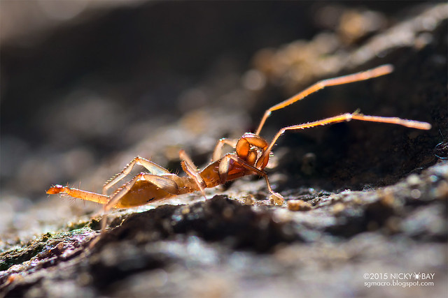 Shorttail whipscorpion (Hubbardiidae) - DSC_5589