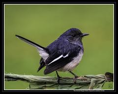 The Oriental Magpie Robin, Female