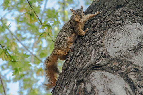 trees beautiful animal animals spectacular mammal rodent photo squirrel awesome gray nuts scenic surreal peaceful idaho peanut sensational inspirational spiritual sublime magical emmett magnificent inspiring haybales animalphotography sciuridae gameanimal easternfoxsquirrel sciurusniger bushtail canonshooter treasurevalley scenicphotography backyardanimal emmettphotography squirrelphotography robertbales americaphotography northamericaphotography