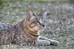 animal, tabby cat, grass, small to medium-sized cats, pet, mammal, european shorthair, pixie-bob, fauna, cat, wild cat, whiskers, domestic short-haired cat, wildlife,