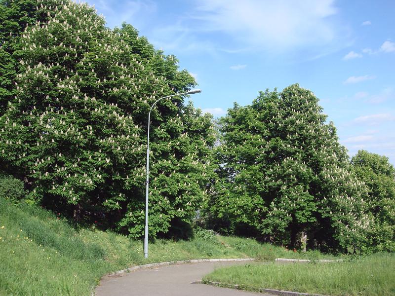 Kiev Kyiv parks chestnuts trees