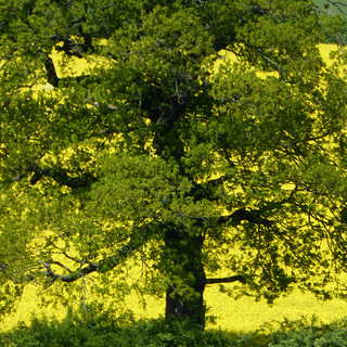green tree yellow field