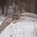 Great Gray Owl flight Tekiela IE6S0683