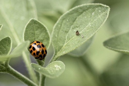 Ladybeetle (Coccinellidae)