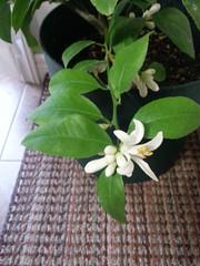 Blooming Meyer lemon tree!