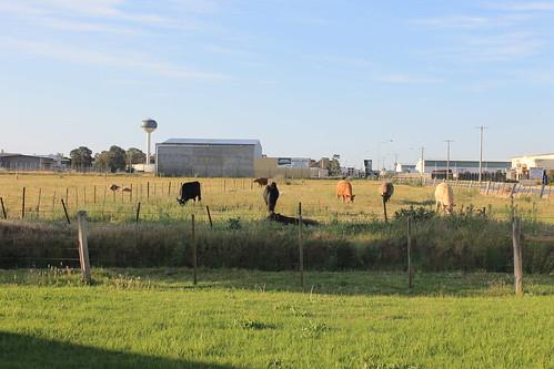 cows shepparton