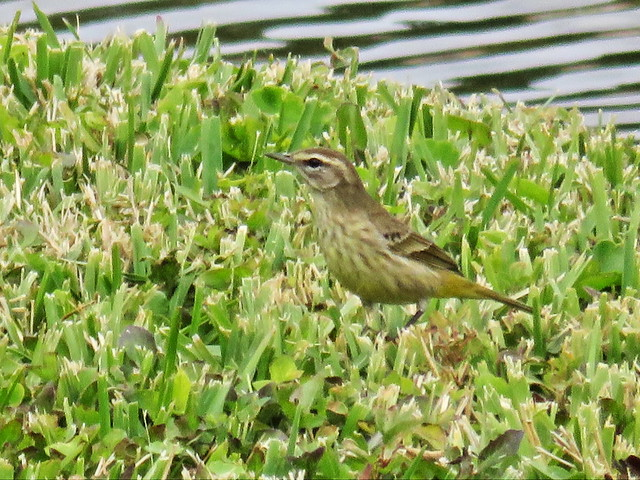 Palm Warbler 70 ft Powershot 30x optical x1.6 digital zoom 20141221
