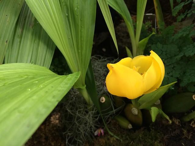 Cradle orchid, Anguloa clowesii
