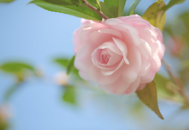 山茶花  Camellia