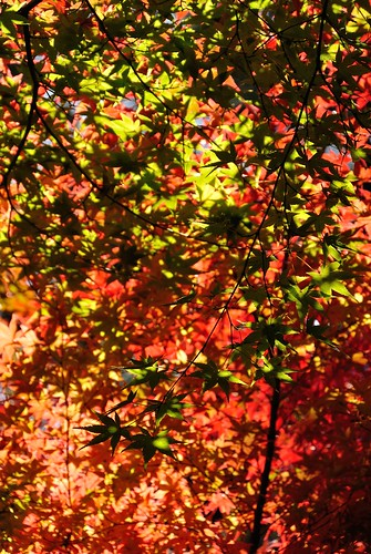Autumn leaves of Shiratori-garden No.1.