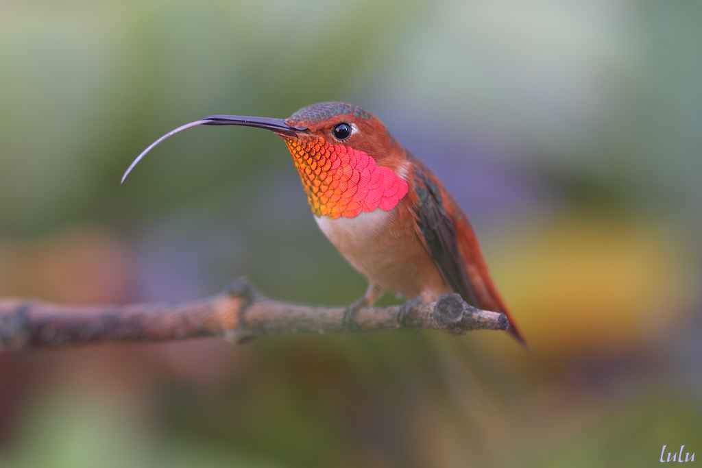Allen's Hummingbird tongue 041214