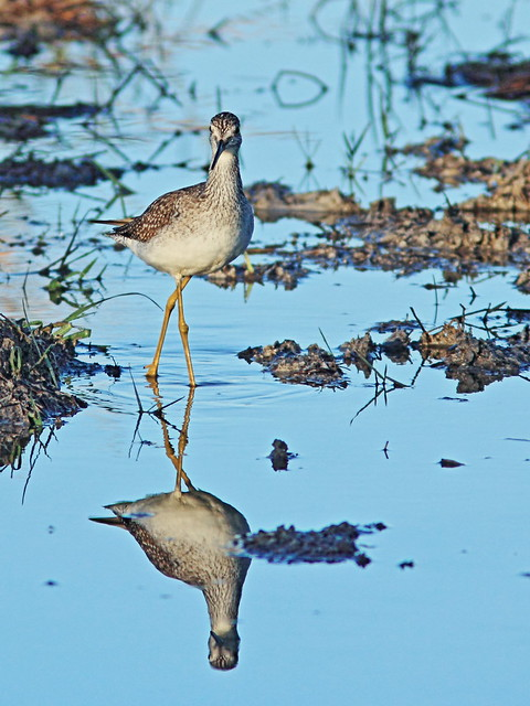 Greater Yellowlegs 02-20141111