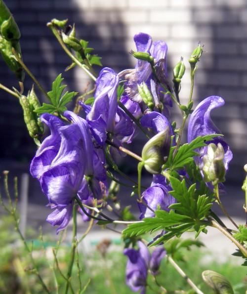 Aconitum variegatum 15779197920_4b69d13aea_o