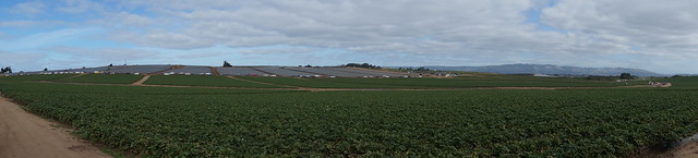Panorama of strawberry fields with lots of cars from people picking the berries