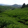 In search of Tea  #tea #cameronhighlands #teaplantation #soloride #bikeing2014