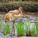 白鶴(Siberian Crane, Leucogeranus leucogeranus)