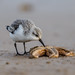 Sanderling Having lunch