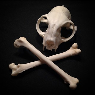 BONELUST CUSTOM ORDER: Pet Processing for a customer - Menoh. Only part of the skeleton is pictured & it arrived with missing teeth.